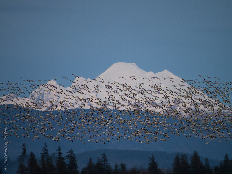 Washington, migration, nature, Pacific Northwest, snow geese, birds,